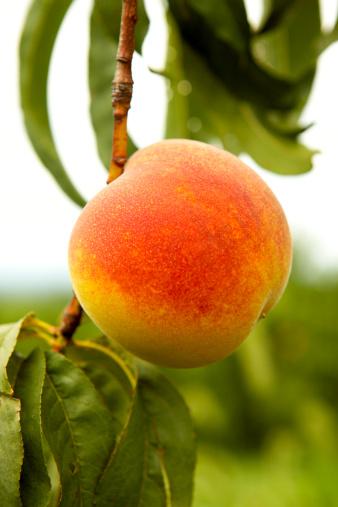 Peach「Peach on a tree」:スマホ壁紙(13)