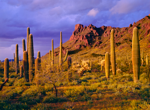 Desert「Organ Pipe Cactus National Monument」:スマホ壁紙(6)