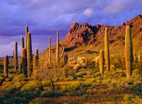 Wildflower「Organ Pipe Cactus National Monument」:スマホ壁紙(2)