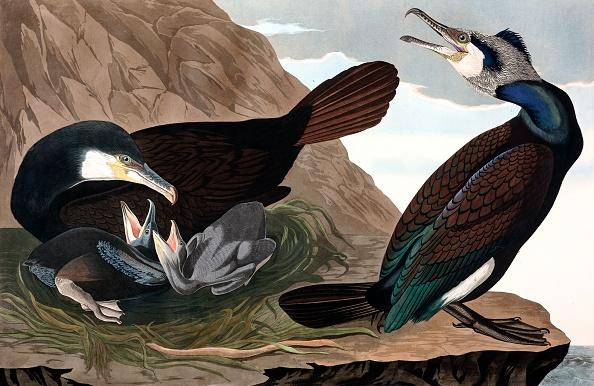 Beak「Common Cormorant」:写真・画像(18)[壁紙.com]