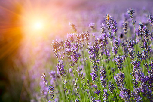花畑「Rows of lavender crops in field」:スマホ壁紙(10)