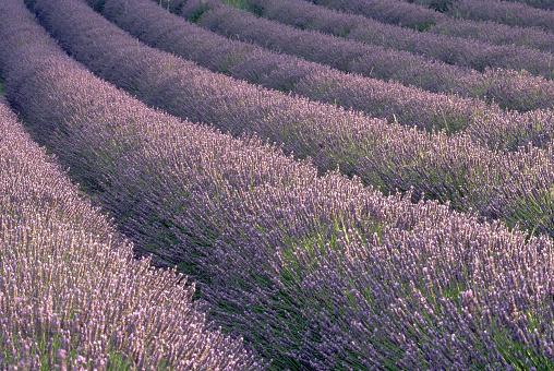 French Lavender「Rows of Lavender Plants」:スマホ壁紙(6)