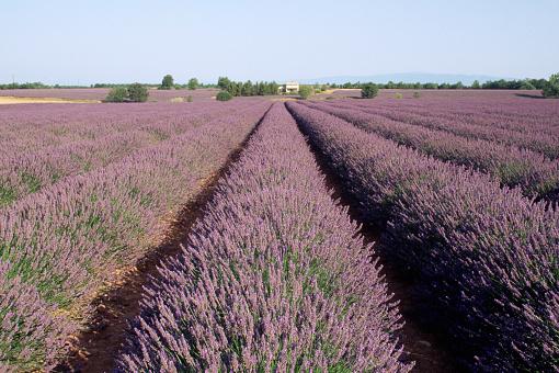 French Lavender「Rows of Lavender in Bloom」:スマホ壁紙(7)