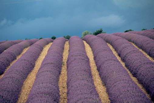 French Lavender「Rows of Lavender」:スマホ壁紙(8)