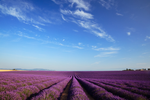 Cultivated Land「Rows of lavender」:スマホ壁紙(13)