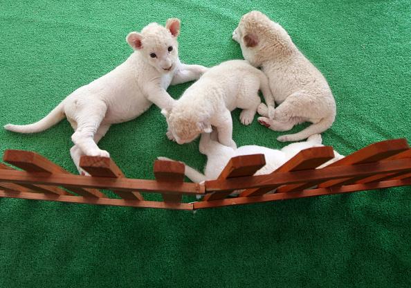 Vertebrate「Seven Newly Born Lion Cubs On Display To The Public」:写真・画像(10)[壁紙.com]