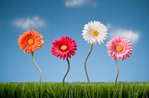 Planting「Four Gerbera Daisies Growing In The Grass」:スマホ壁紙(11)