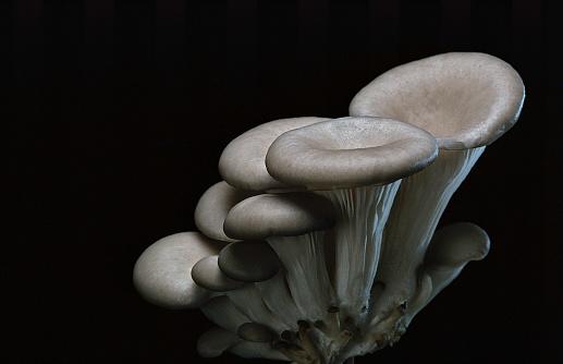 ヒラタケ「Pleurotus cornucopiae (cornucopia mushroom, branching oyster)」:スマホ壁紙(9)
