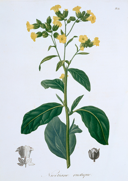 Tobacco Crop「Nicotiana (Tobacco) 1821」:写真・画像(14)[壁紙.com]