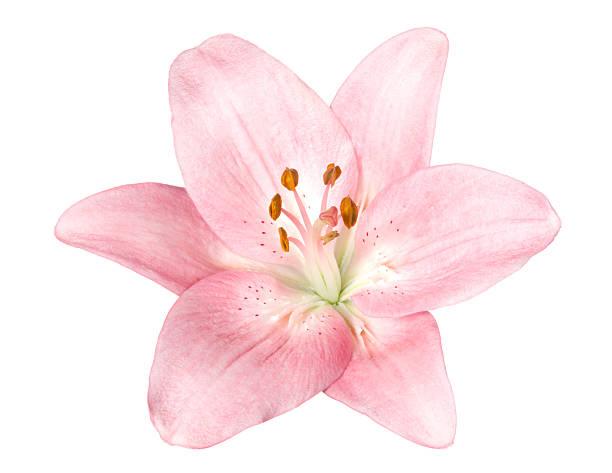 Lily.:スマホ壁紙(壁紙.com)