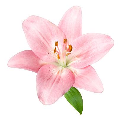 Floral Pattern「Lily.」:スマホ壁紙(14)