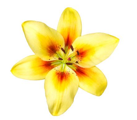 Floral Pattern「Lily.」:スマホ壁紙(5)
