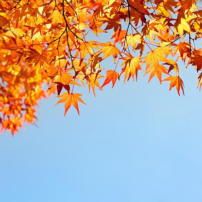 かえでの葉「夜の秋イロハモミジリーブズ」:スマホ壁紙(14)