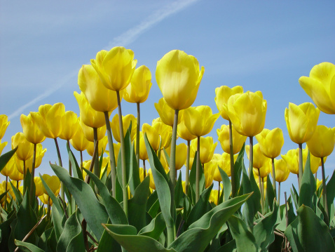 Keukenhof Gardens「Tulips against a blue sky」:スマホ壁紙(8)