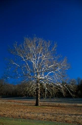 セイヨウカジカエデ「American sycamore tree」:スマホ壁紙(6)