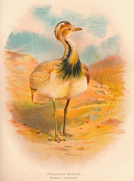 Animal Wildlife「'Macqueen's Bustard (Houbara macqueeni)', 1900, (1900)」:写真・画像(0)[壁紙.com]