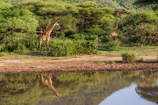 Eco Tourism「Giraffes: reflection」:スマホ壁紙(18)