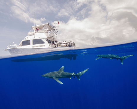 Surface Level「Two oceanic whitetip sharks swim under a boat at Cat Island in the Bahamas.」:スマホ壁紙(0)