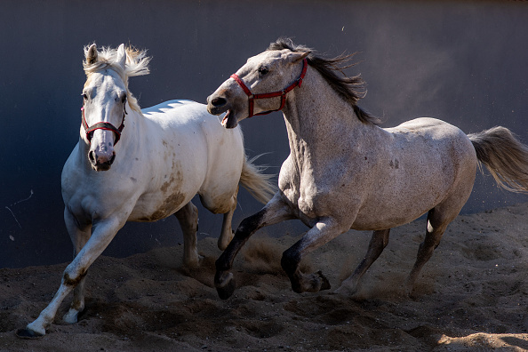 animal「Fiaker Horses Penned Following Coronavirus Restrictions」:写真・画像(15)[壁紙.com]