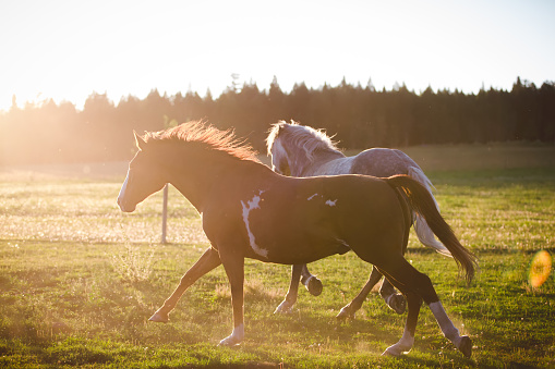 Working Animal「Two horses running in a field, British Columbia, Canada」:スマホ壁紙(18)