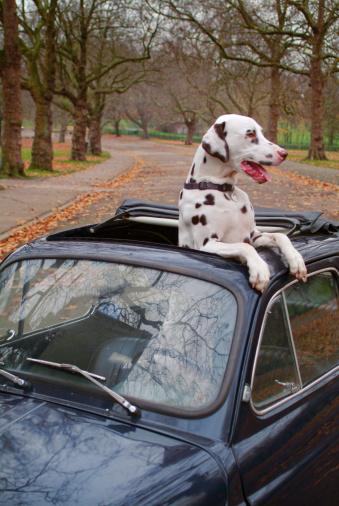 Out Of Context「Small Car Big Dog Pampered Pet」:スマホ壁紙(19)