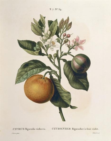 Botany「Bitter orange (Citrus aurantium) with violet fruit by Pierre Joseph Redoute (1759-1840)」:写真・画像(0)[壁紙.com]