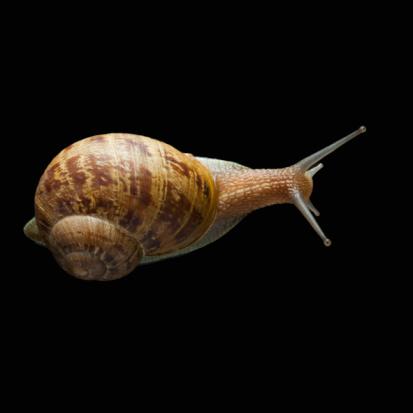 カタツムリ「Snail with head out of shell」:スマホ壁紙(0)