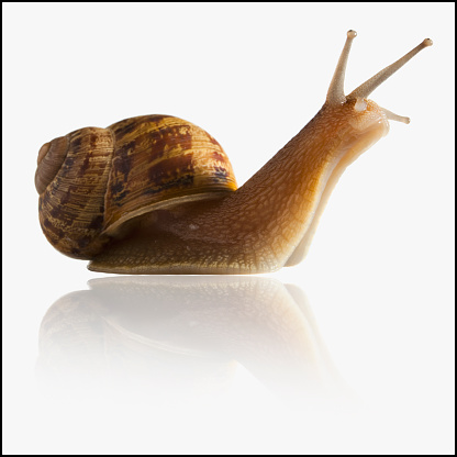 遅い「Snail with head out of shell」:スマホ壁紙(9)