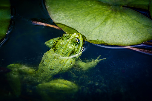 Water Lily「Common frog laying eggs on water surface」:スマホ壁紙(10)