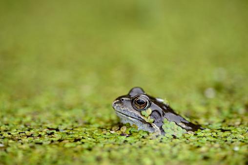 Surrounding「Common frog in duckweed in water」:スマホ壁紙(16)