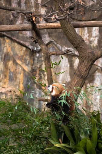 パンダ「Red Panda, Lesser Panda (Ailurus fulgens)」:スマホ壁紙(16)