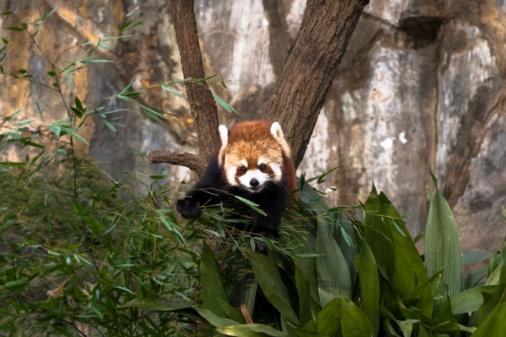 パンダ「Red Panda, Lesser Panda (Ailurus fulgens)」:スマホ壁紙(15)