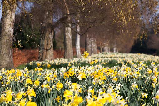 水仙「Daffodils in bloom; hirsel scottish borders scotland」:スマホ壁紙(1)