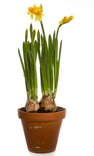 水仙「Daffodils 鍋に、ホワイト」:スマホ壁紙(4)