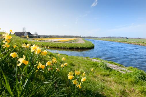 Keukenhof Gardens「daffodils in flower field」:スマホ壁紙(8)