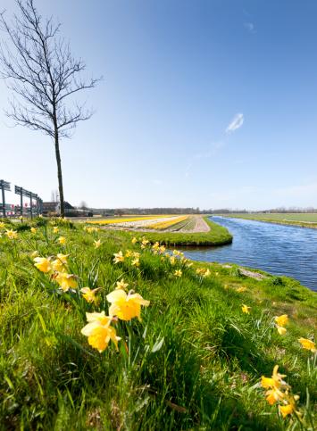 Keukenhof Gardens「daffodils in flower field」:スマホ壁紙(7)