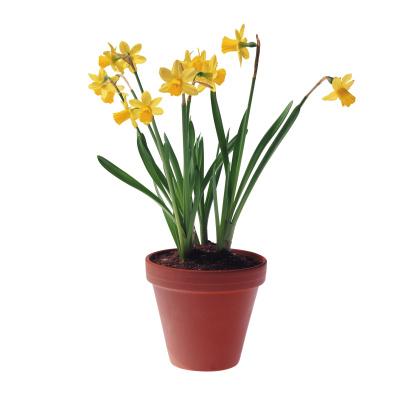 水仙「Daffodils in Pot」:スマホ壁紙(19)