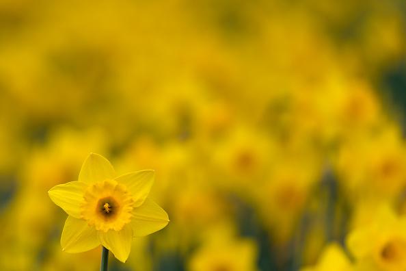 スイセン「Sunny Days In London As Spring Approaches」:写真・画像(3)[壁紙.com]