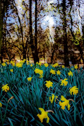 マン島「Daffodils in Spring」:スマホ壁紙(6)