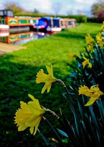 マン島「Daffodils in Spring」:スマホ壁紙(8)