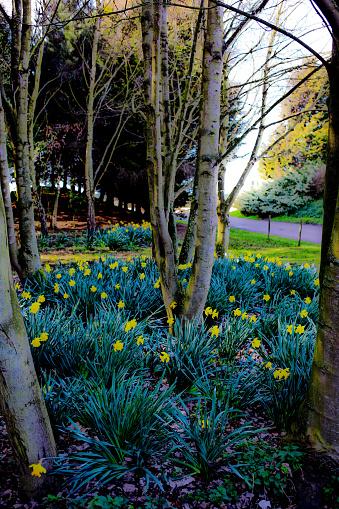 マン島「Daffodils in Spring」:スマホ壁紙(3)