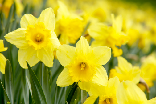 水仙「Daffodils in field」:スマホ壁紙(5)