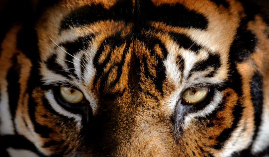 Tiger「eyes of the tiger」:スマホ壁紙(3)