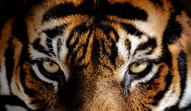 eyes of the tiger:スマホ壁紙(壁紙.com)