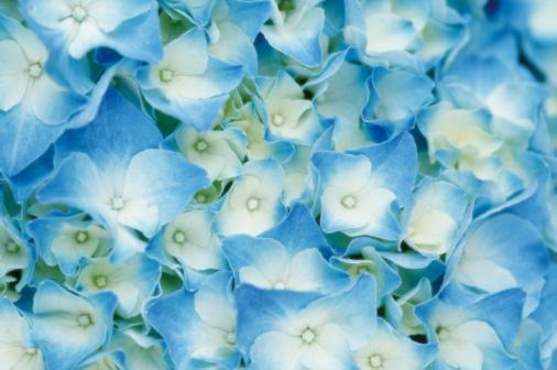 あじさい「Blue Hydrangea」:スマホ壁紙(15)