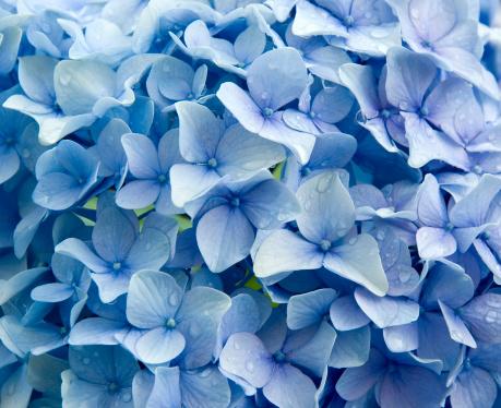 あじさい「ブルーアジザイ macrophylla 、Raindrops」:スマホ壁紙(17)