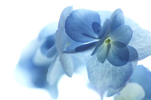 アジサイ「Blue Hydrangea Flowers」:スマホ壁紙(14)