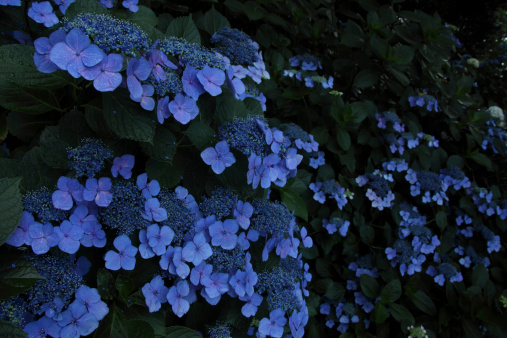 あじさい「Blue Hydrangea Flowers」:スマホ壁紙(9)
