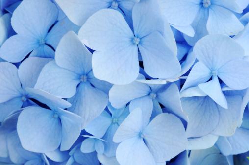 あじさい「ブルーアジザイ」:スマホ壁紙(10)