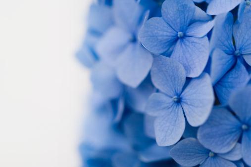 あじさい「ブルーアジザイ」:スマホ壁紙(13)